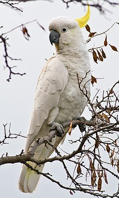 GreaterSulphurCrestedCockatoo