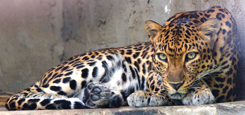IndochineseLeopard